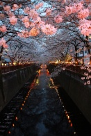 blossom by night