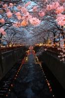 blossom by night